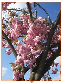 tree blossom in bloom