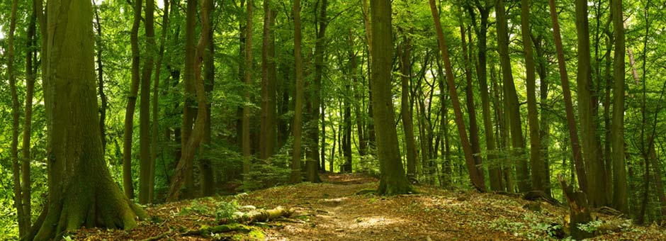 deep forest scene with a path in the summer